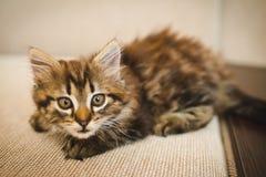 Eine kleine nette Miezekatze schaut, aufwirft für das Foto recht stockfotografie