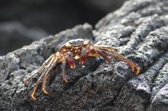 Eine kleine orangefarbene Krabbe sonnt sich auf einem schwarzen vulkanischen Felsen stockbilder