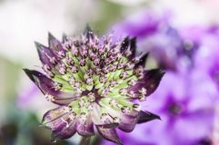 Eine kleine purpurrote Blume mit vielen von Staubgefässe lizenzfreie stockfotos