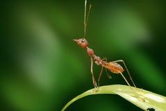Eine kleine rote Ameise stockbild