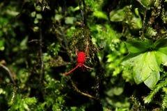 Eine kleine rote Spinne geht auf einen Felsen Lizenzfreie Stockfotos