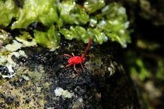 Eine kleine rote Spinne geht auf einen Felsen Stockfotos
