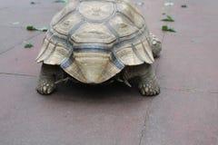 Eine kleine Schildkröte steigt in die große Welt ein stockfoto