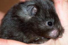 Eine kleine schwarze Maus Lizenzfreie Stockfotos