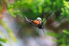 Eine kleine Spinne, die im Netz sein Opfer isst Stockbilder