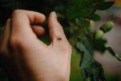 Eine kleine Spinne sitzt auf dem Arm eines Mannes, der arachnophobia überwunden hat stockfotografie
