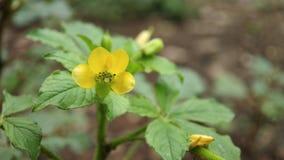 Eine kleine unbekannte hellgelbe Blume i sehen im Wald, extremer Makroschuß lizenzfreie stockbilder