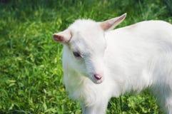 Eine kleine weiße junge Ziege, die seitlich steht Stockbilder