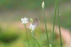 Eine kleine weiße Schmetterlingsstange auf einer weißen Blume Stockfotos