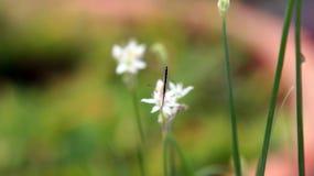 Eine kleine weiße Schmetterlingsstange auf einer weißen Blume Stockbild