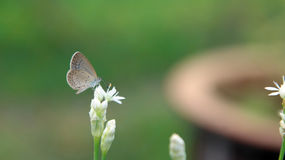 Eine kleine weiße Schmetterlingsstange auf einer weißen Blume Stockfoto