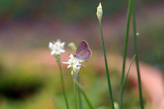 Eine kleine weiße Schmetterlingsstange auf einer weißen Blume Lizenzfreies Stockbild