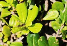 Eine kleine Wespe Lizenzfreie Stockbilder