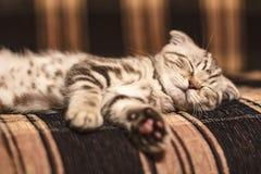 Eine kleines, schönes, nettes reinrassiges Kätzchen schottische Falte schläft solid auf der Couch, nach aktiven Spielen lizenzfreie stockfotos
