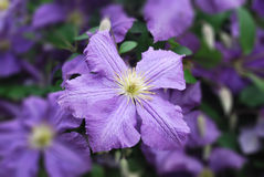 Eine kletternde Rebe von Blumen der purpurroten Klematis Lizenzfreies Stockbild