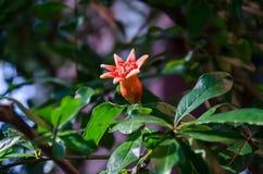 Eine Knospe des Granatapfels Stockfotografie