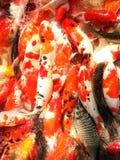 Eine koi Fischfamilie Stockbild