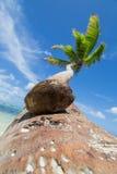 Eine Kokosnuss und eine Palme Lizenzfreie Stockfotografie