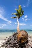 Eine Kokosnuss und eine Palme Lizenzfreie Stockfotos