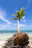 Eine Kokosnuss und eine Palme Stockfotos