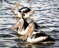 Eine Kolonie des australischen Pelikans stockbild