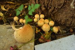 Eine Kolonie von gerippten konischen Pilzen von Agaricus-Spezies Stockfoto