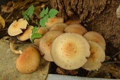 Eine Kolonie von gerippten Pilzen von Agaricus-Spezies Stockbild