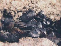 Eine Kolonie von Miesmuscheln Lizenzfreies Stockfoto