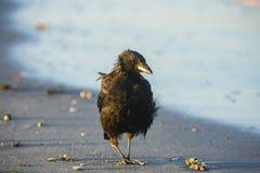 Eine Krähe auf dem Strand Stockfotografie
