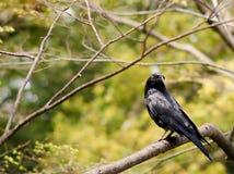 Eine Krähe auf einem Baumast lizenzfreies stockfoto