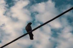 Eine Krähe auf einem Draht Stockbild