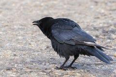 Eine Krähe auf Southampton-Common lizenzfreie stockfotos