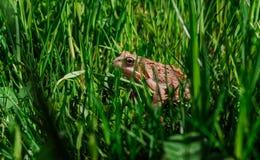 Eine Kröte, die im grünen Gras sitzt Lizenzfreies Stockfoto