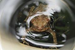 Eine Kröte im Wasser Lizenzfreies Stockbild