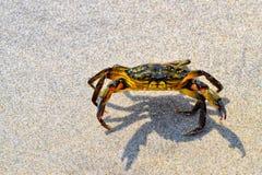 Eine Krabbe auf dem Sand bei Maine Shore Lizenzfreies Stockfoto