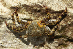 Eine Krabbe auf einem Felsen Lizenzfreie Stockfotos