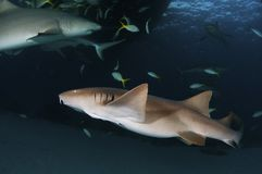 Eine Krankenschwester Shark in den Bahamas stockfoto