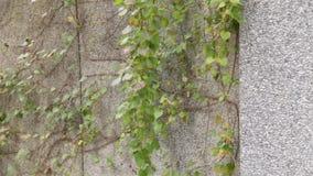 Eine Kriechpflanzenrebe auf einer Wand mit einigen baumelnden Reben, die im Wind durchbrennen stock video