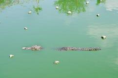 Eine Krokodilschwimmen im Wasser Lizenzfreie Stockfotografie