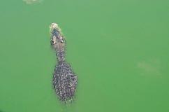 Eine Krokodilschwimmen im Wasser Stockfotos