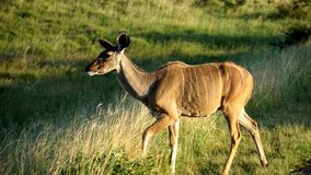 Eine Kudu-Frau Stockbilder