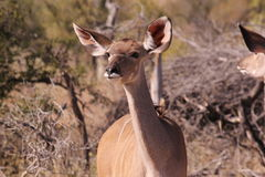 Eine Kudu-Kuh Stockfoto