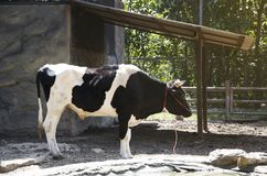 Eine Kuh Stockfoto