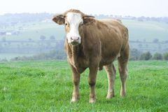 Eine Kuh Lizenzfreie Stockbilder