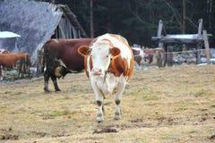 Eine Kuh auf dem Ackerland Lizenzfreies Stockfoto