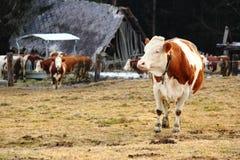Eine Kuh auf dem Ackerland Stockbild