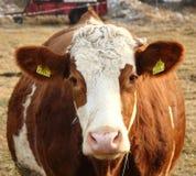 Eine Kuh auf dem Ackerland Stockbilder