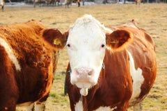 Eine Kuh auf dem Ackerland Lizenzfreie Stockfotos