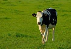 Eine Kuh auf dem Gebiet Stockbilder