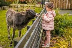 Eine Kuh auf einem Bauernhof lizenzfreies stockbild